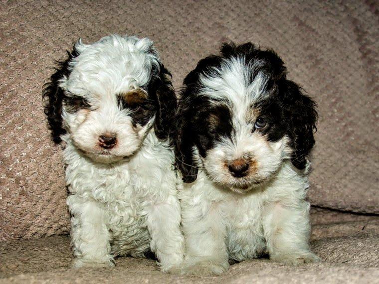 Cockapoo puppies on a sofa