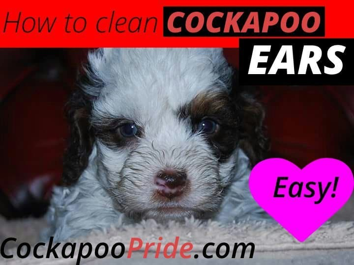 How to clean cockapoo ears