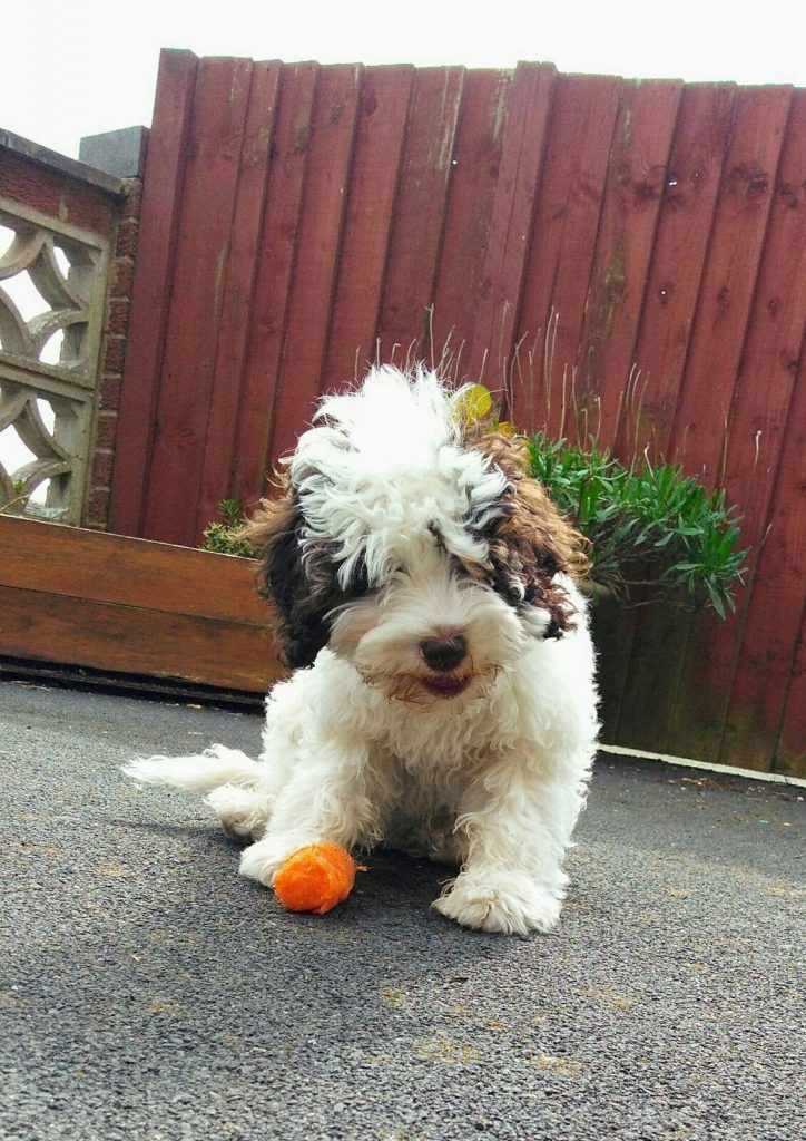 New white cockapoo puppy with carrot