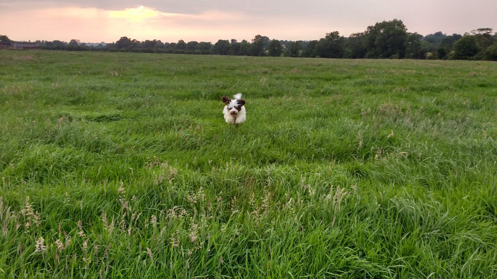 Cockapoo running in a green field