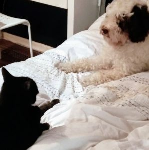 Cockapoo getting along with cat on bed