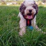 cockapoo dog breed quiz