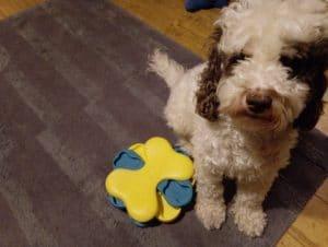 New puppy checklist Cockapoo with tornado puzzle toy