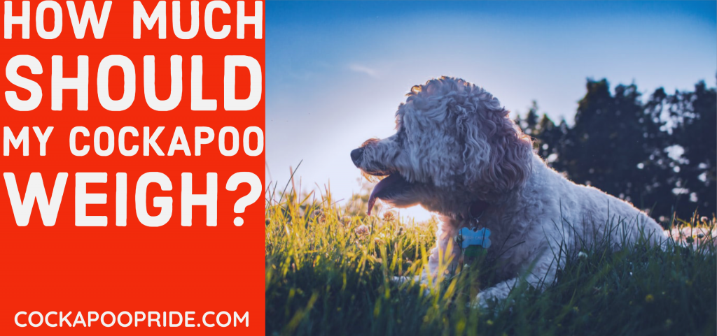 How much should my cockapoo weigh?