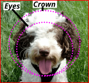 how to trim a cockapoo face diagram showing crown and eyes