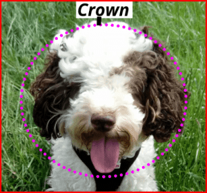 how to trim a cockapoo face diagram showing crown