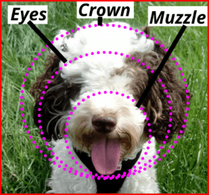 how to trim a cockapoo face diagram showing crown eyes and muzzle