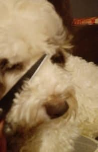 Grooming a cockapoo face correct scissor placement