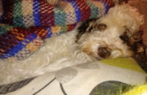 Eco friendly dog products - cockapoo snuggling under a recycled woolen blanket