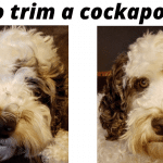 How to trim a cockapoo face