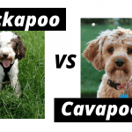 Cockapoo vs cavapoo