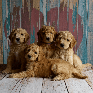 New puppy litter sitting indoors buying a cockapoo