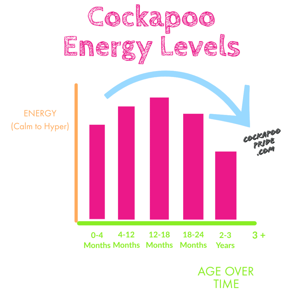 when do cockapoos calm down? Graph