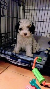 Cockapoo sitting in a dog crate