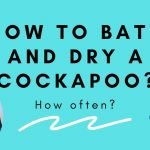 How to bath a cockapoo and dry a cockapoo