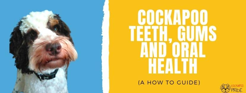 How to clean cockapoo teeth, gums and oral health