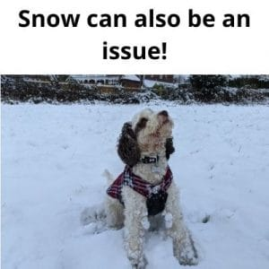 Getting knots out of Cockapoo Fur - cockapoo in snow