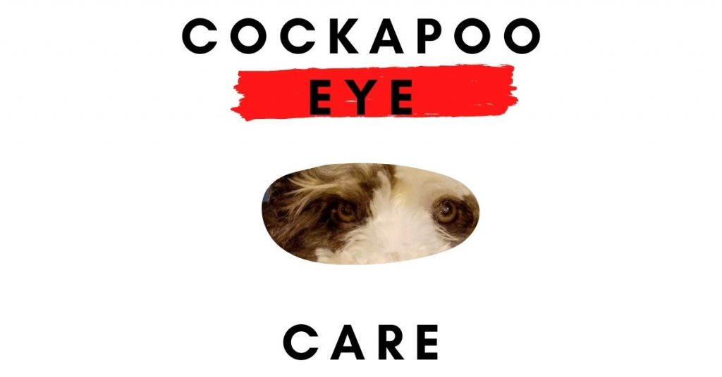 How to care for cockapoo eyes, issues, and how to fix them