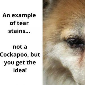 cockapoo tear stains