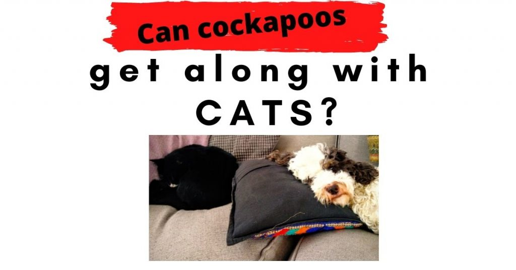 Can Can cockapoos get along with cats