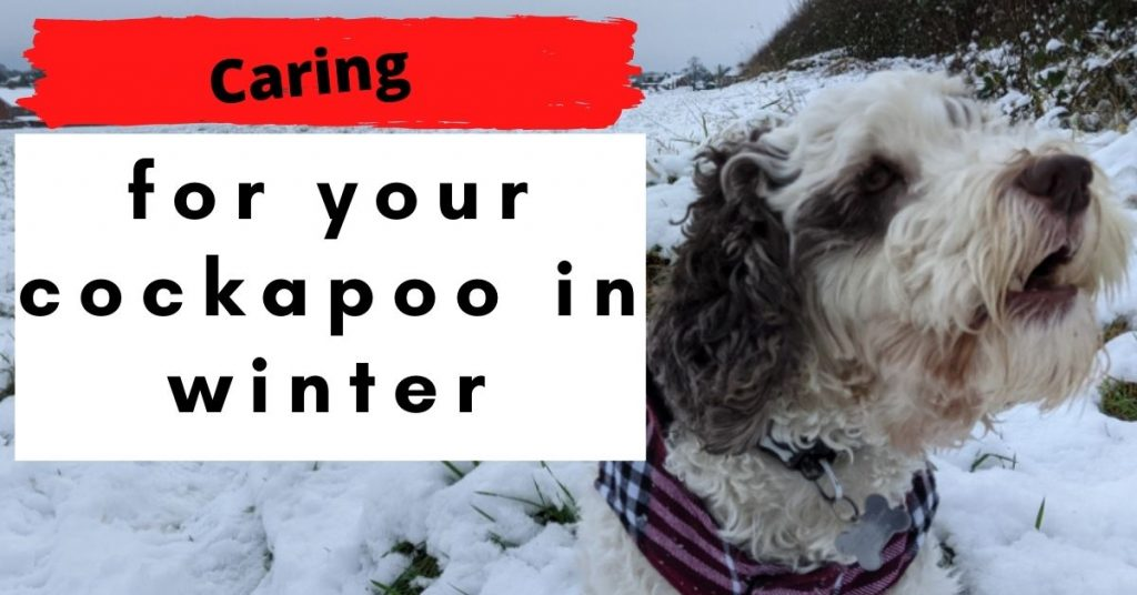 Caring for a cockapoo in winter grooming