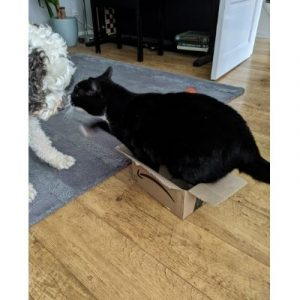 Cat not getting along with cockapoo dog