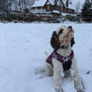Cockapoo with long fur in snow in winter