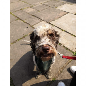 Picture of a muddy cockapoo after a walk